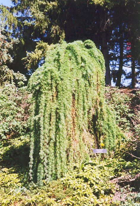 Weeping European Larch (Larix decidua 'Pendula') at Wolf Hill Home & Garden