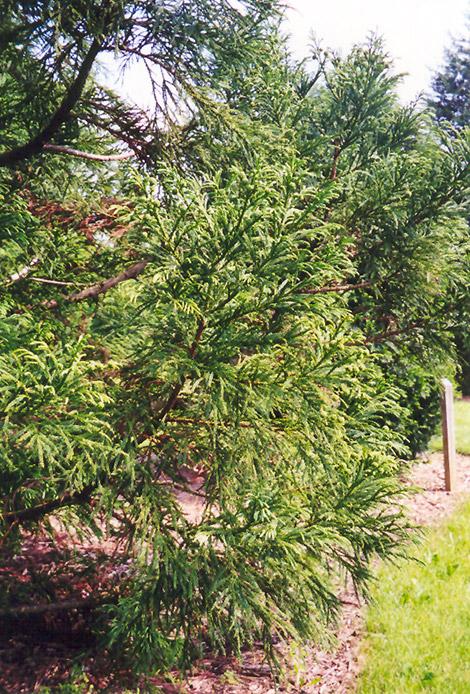 Japanese Cedar (Cryptomeria japonica) at Wolf Hill Home & Garden