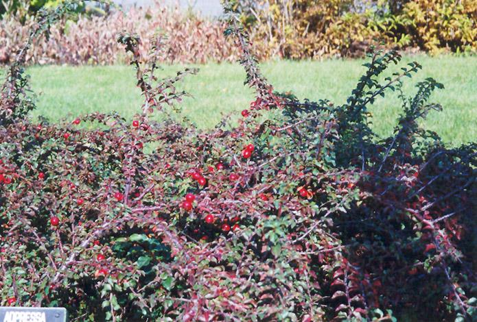 Praecox Cotoneaster (Cotoneaster adpressus 'Praecox') at Wolf Hill Home & Garden