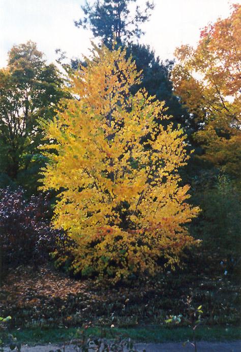 Katsura Tree (Cercidiphyllum japonicum) at Wolf Hill Home & Garden