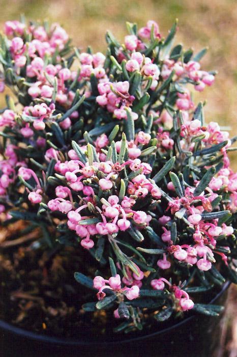 Bog Rosemary (Andromeda polifolia) at Wolf Hill Home & Garden