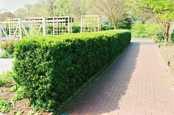 Common Boxwood (Buxus sempervirens) at Wolf Hill Home & Garden