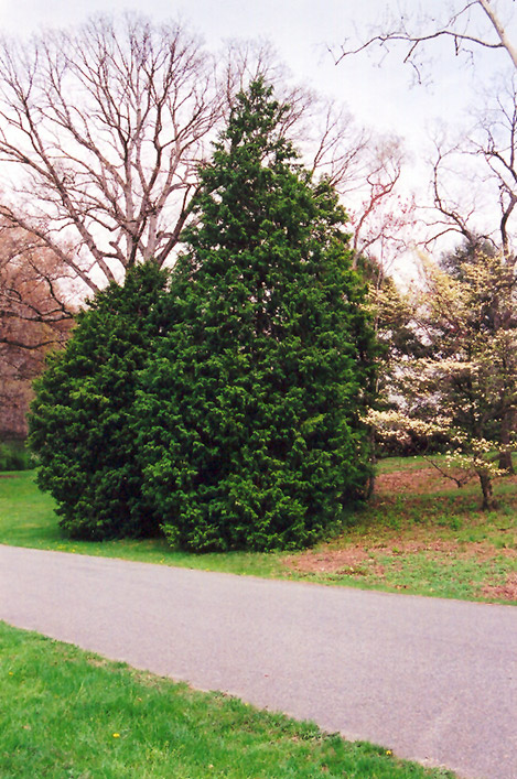 Hinoki Falsecypress (Chamaecyparis obtusa) at Wolf Hill Home & Garden