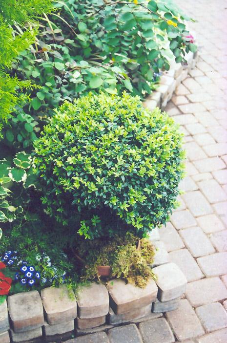 Korean Boxwood (Buxus microphylla 'var. koreana') at Wolf Hill Home & Garden