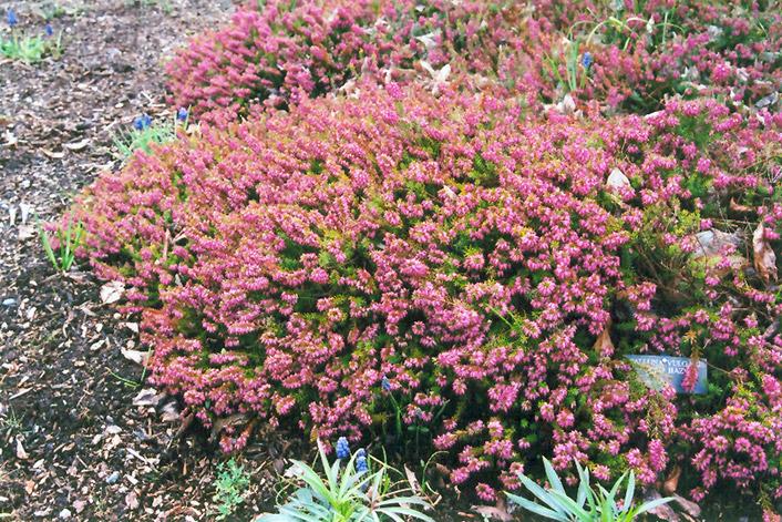 Gold Haze Heather (Calluna vulgaris 'Gold Haze') at Wolf Hill Home & Garden