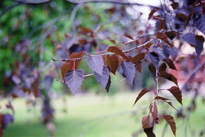 Crimson Frost Birch (Betula 'Crimson Frost') at Wolf Hill Home & Garden