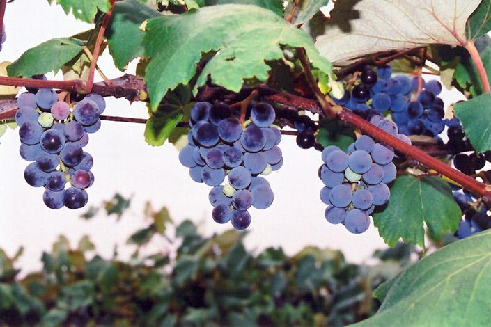 Concord Grape (Vitis 'Concord') at Wolf Hill Home & Garden