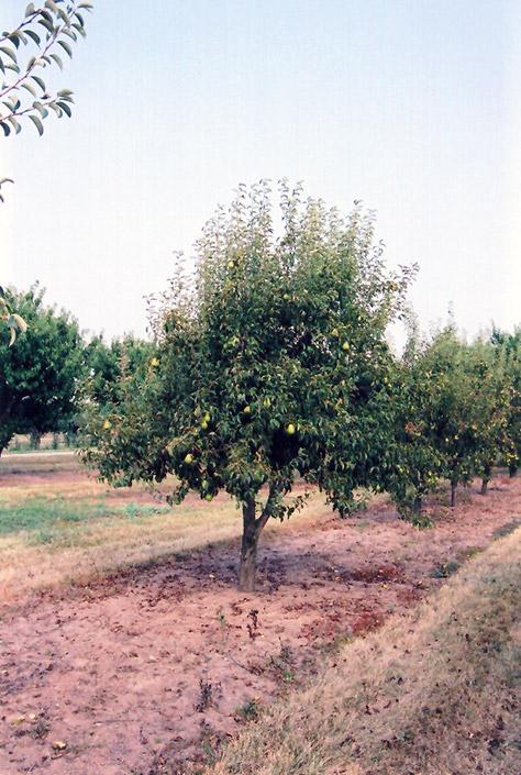 Bartlett Pear (Pyrus communis 'Bartlett') at Wolf Hill Home & Garden