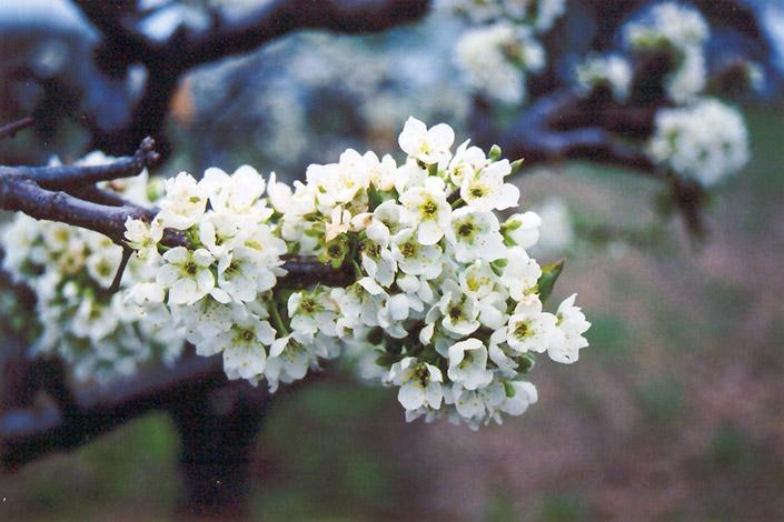 Burbank Plum (Prunus 'Burbank') at Wolf Hill Home & Garden
