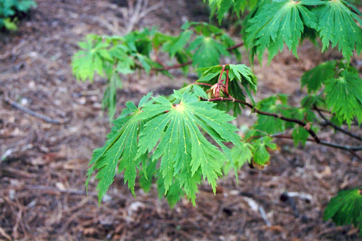 Fullmoon Maple (Acer japonicum) at Wolf Hill Home & Garden