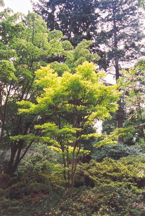 Golden Fullmoon Maple (Acer japonicum 'Aureum') at Wolf Hill Home & Garden