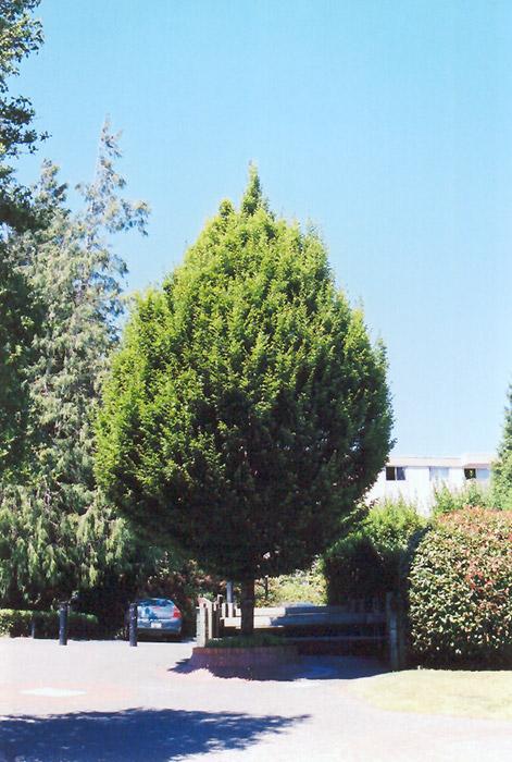 Columnar European Hornbeam (Carpinus betulus 'Columnaris') at Wolf Hill Home & Garden