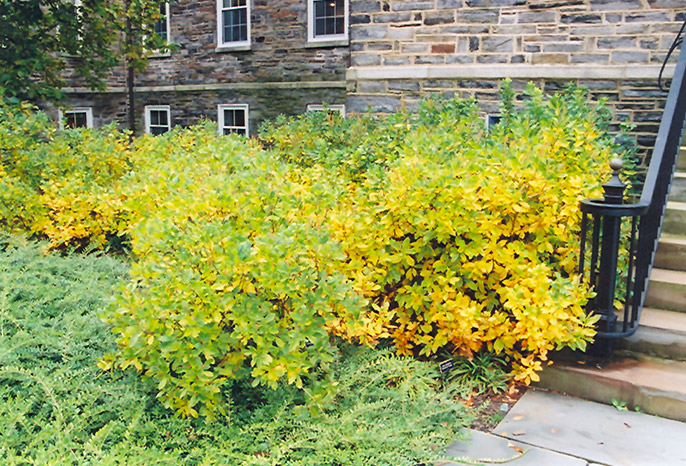 Summersweet (Clethra alnifolia) at Wolf Hill Home & Garden