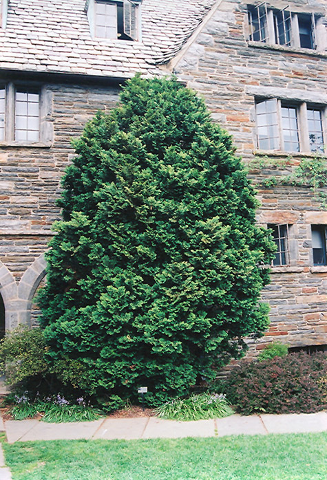 Compact Hinoki Falsecypress (Chamaecyparis obtusa 'Compacta') at Wolf Hill Home & Garden