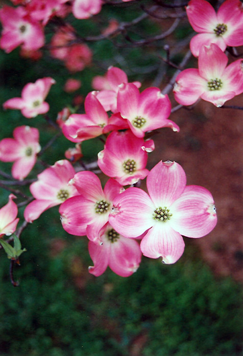 Red Flowering Dogwood (Cornus florida 'var. rubra') at Wolf Hill Home & Garden
