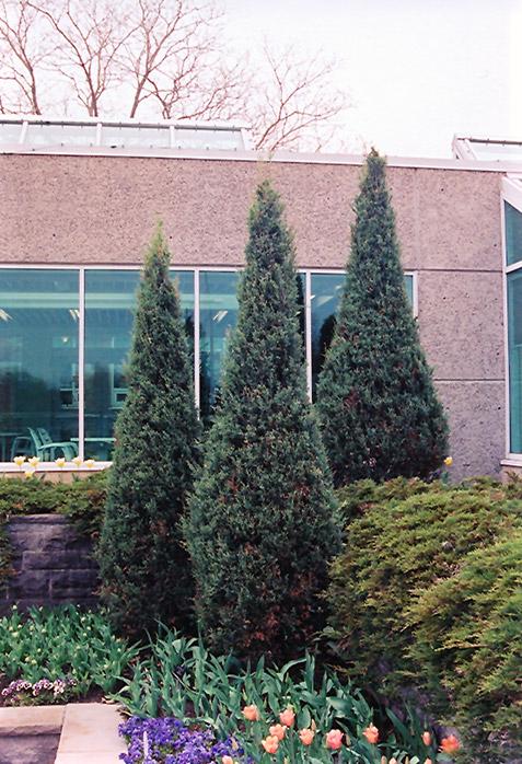 Skyrocket Juniper (Juniperus scopulorum 'Skyrocket') at Wolf Hill Home & Garden