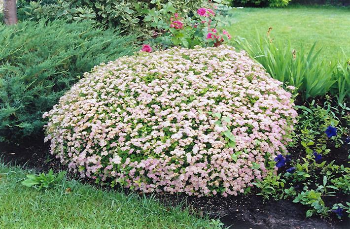 Little Princess Spirea (Spiraea japonica 'Little Princess') at Wolf Hill Home & Garden