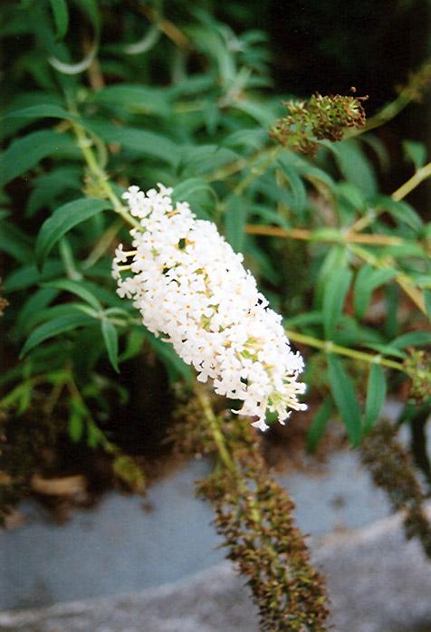 Nanho White Butterfly Bush (Buddleia davidii 'Nanho Alba') at Wolf Hill Home & Garden
