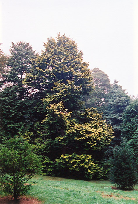 Golden Hinoki Falsecypress (Chamaecyparis obtusa 'Aurea') at Wolf Hill Home & Garden