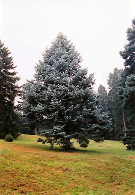 Candicans White Fir (Abies concolor 'Candicans') at Wolf Hill Home & Garden