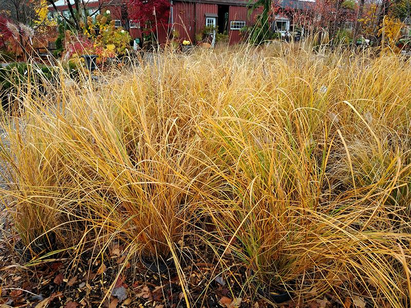 Foxtrot Fountain Grass (Pennisetum alopecuroides 'Foxtrot') at Wolf Hill Home & Garden