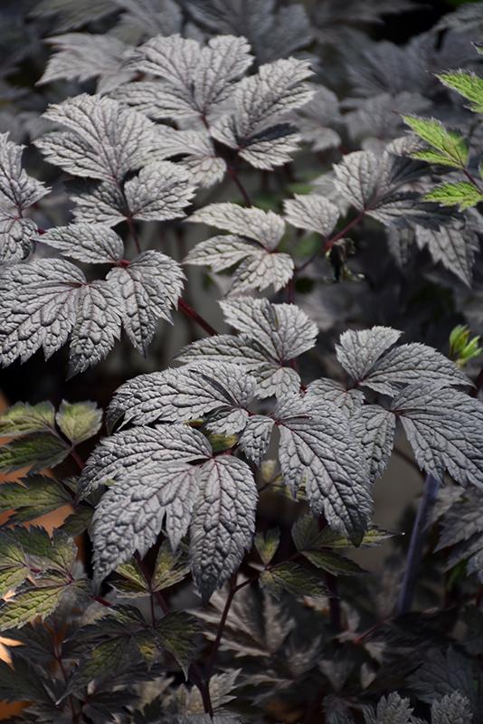 Chocoholic Bugbane (Actaea racemosa 'Chocoholic') at Wolf Hill Home & Garden