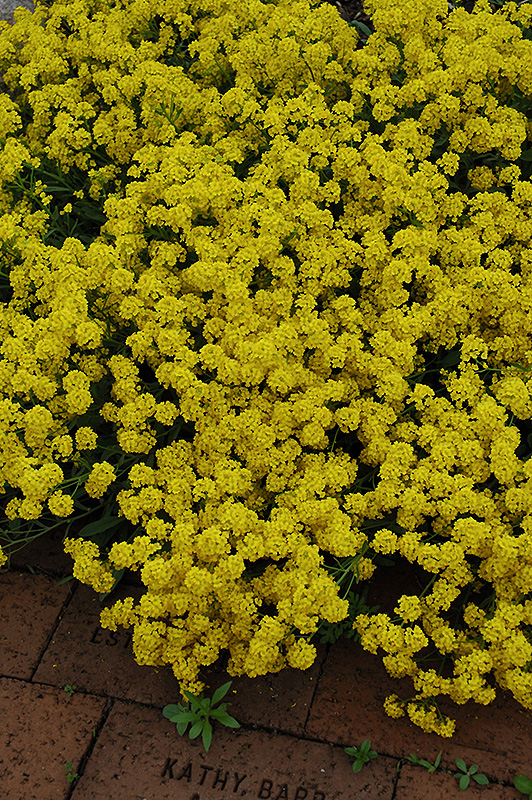 Gold Dust Basket Of Gold (Aurinia saxatilis 'Compacta') at Wolf Hill Home & Garden