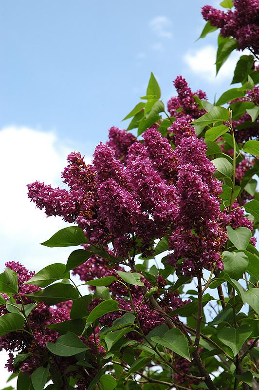 Charles Joly Lilac (Syringa vulgaris 'Charles Joly') at Wolf Hill Home & Garden