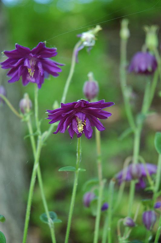 Dark Purple Barlow Columbine (Aquilegia vulgaris 'Dark Purple Barlow') at Wolf Hill Home & Garden