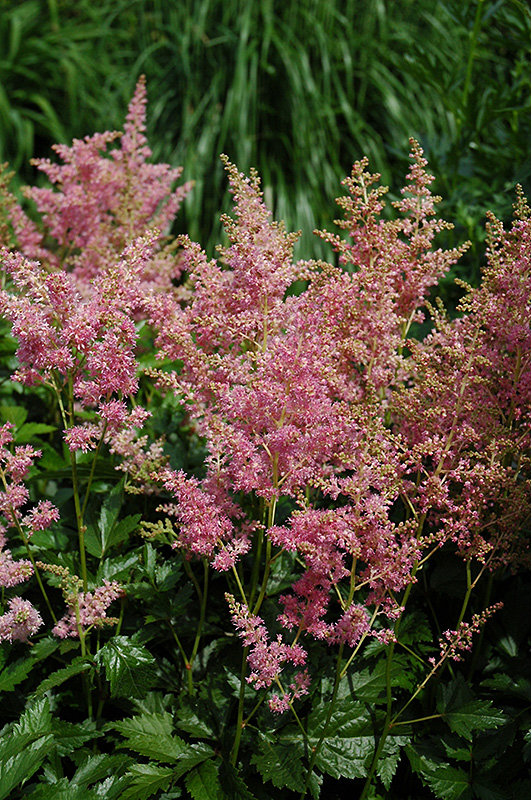 Amethyst Astilbe (Astilbe x arendsii 'Amethyst') at Wolf Hill Home & Garden
