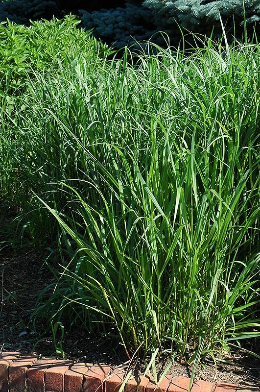 Switch Grass (Panicum virgatum) at Wolf Hill Home & Garden