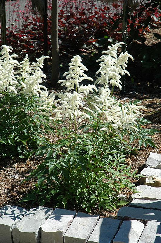 Deutschland Astilbe (Astilbe japonica 'Deutschland') at Wolf Hill Home & Garden