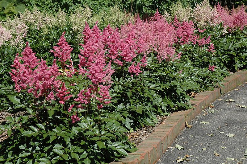 Rheinland Astilbe (Astilbe japonica 'Rheinland') at Wolf Hill Home & Garden