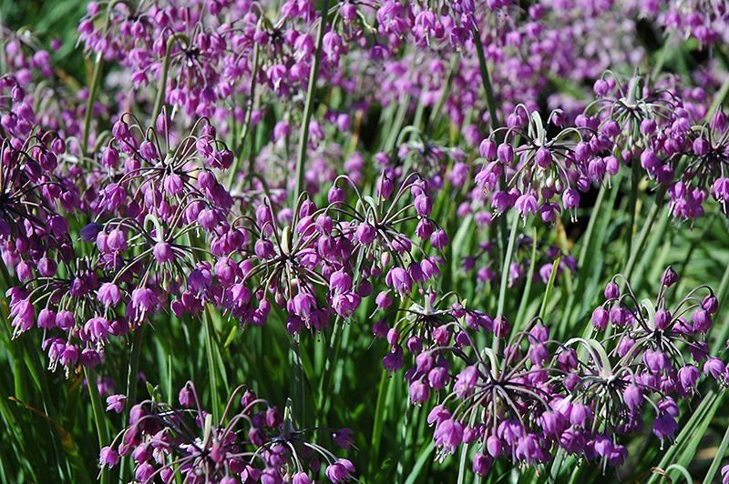 Nodding Onion (Allium cernuum) at Wolf Hill Home & Garden