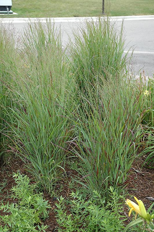 Shenandoah Reed Switch Grass (Panicum virgatum 'Shenandoah') at Wolf Hill Home & Garden
