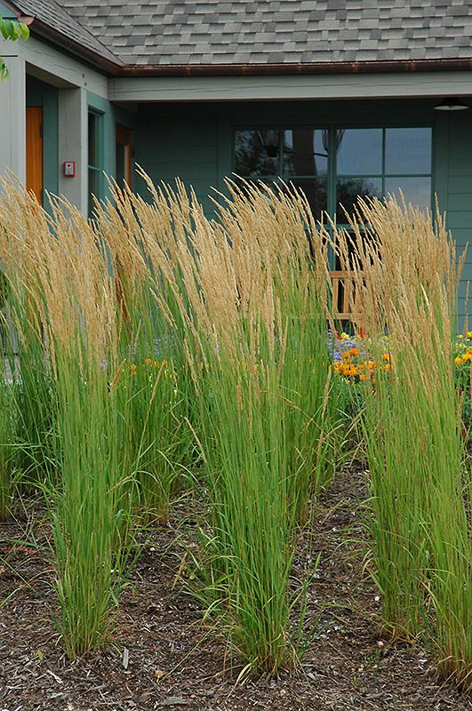 Karl Foerster Reed Grass (Calamagrostis x acutiflora 'Karl Foerster') at Wolf Hill Home & Garden