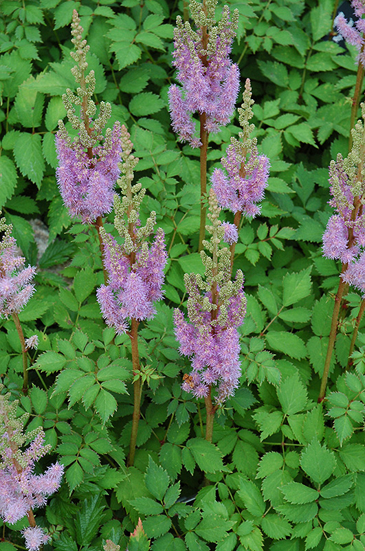 Dwarf Chinese Astilbe (Astilbe chinensis 'Pumila') at Wolf Hill Home & Garden