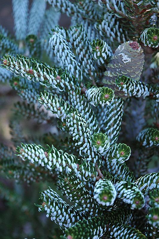Silver Korean Fir (Abies koreana 'Silberlocke') at Wolf Hill Home & Garden