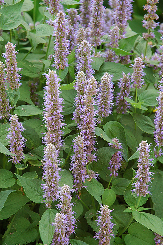 Blue Fortune Anise Hyssop (Agastache 'Blue Fortune') at Wolf Hill Home & Garden