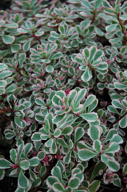 Tricolor Stonecrop (Sedum spurium 'Tricolor') at Wolf Hill Home & Garden