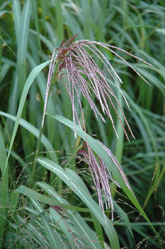 Maiden Grass (Miscanthus sinensis) at Wolf Hill Home & Garden