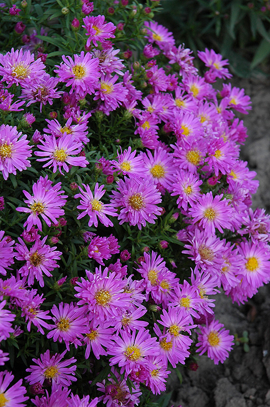 Purple Beauty Aster (Aster novae-angliae 'Purple Beauty') at Wolf Hill Home & Garden