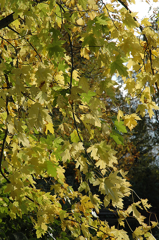 Silver Maple (Acer saccharinum) at Wolf Hill Home & Garden