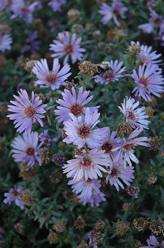 Woods Blue Aster (Aster 'Woods Blue') at Wolf Hill Home & Garden