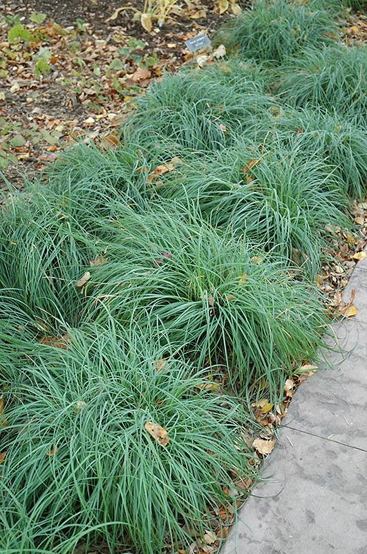 Blue Sedge (Carex glauca) at Wolf Hill Home & Garden