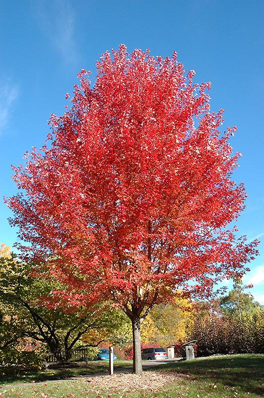 Autumn Blaze Maple (Acer x freemanii 'Jeffersred') at Wolf Hill Home & Garden
