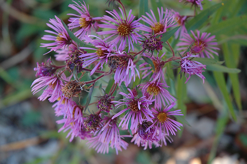 New England Aster (Aster novae-angliae) at Wolf Hill Home & Garden