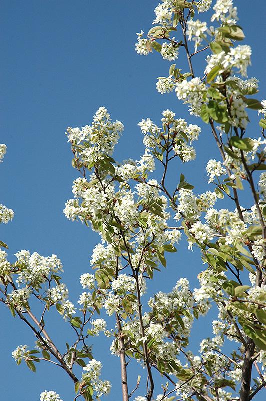 Allegheny Serviceberry (Amelanchier laevis) at Wolf Hill Home & Garden