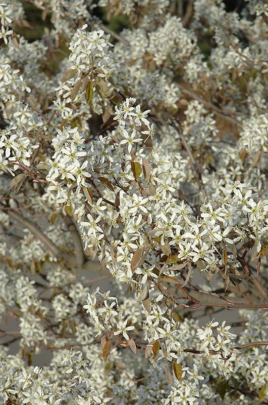 Shadblow Serviceberry (Amelanchier canadensis) at Wolf Hill Home & Garden