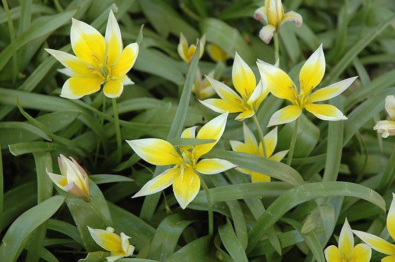 Daystemon Tulip (Tulipa tarda) at Wolf Hill Home & Garden